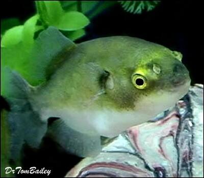Premium New Rare, Freshwater Avocado Pufferfish