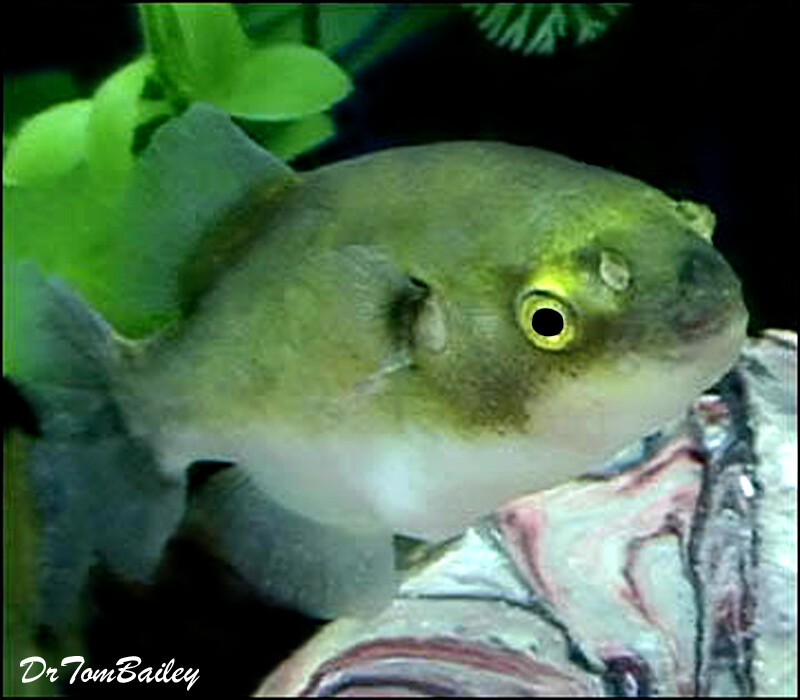 Premium New Rare, Freshwater Avocado Pufferfish