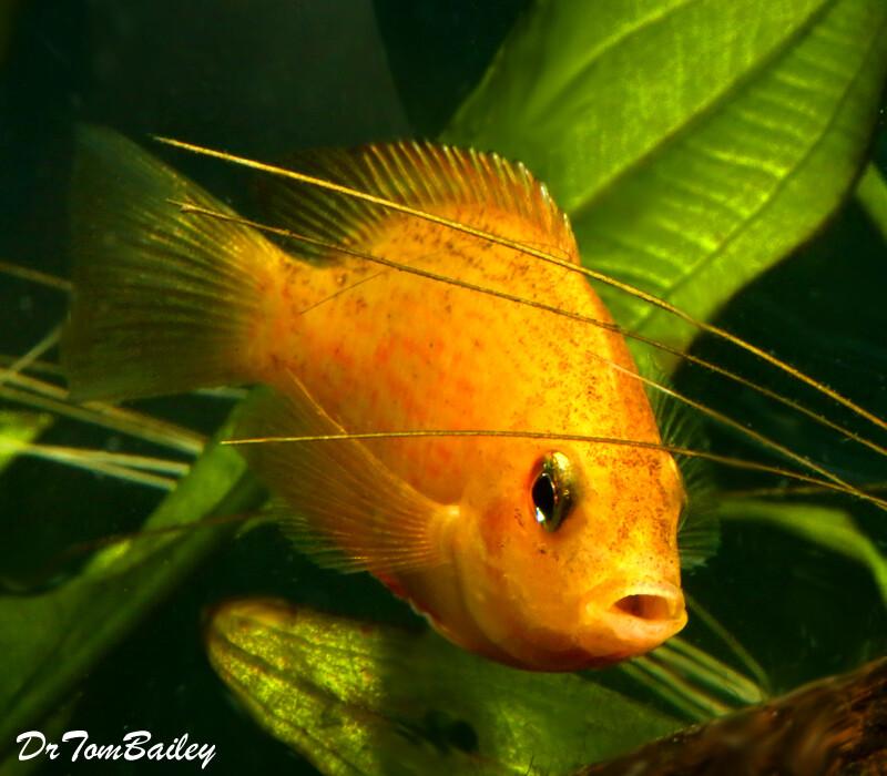 Premium Orange Chromide Cichlid