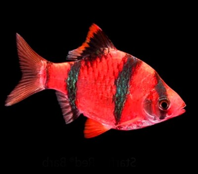 Premium New Starfire Very-Red GloFish Tiger Barb