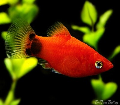 Premium Red Mickey Mouse Platy