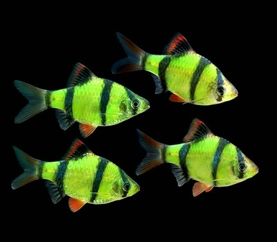 Premium New Electric Very-Green GloFish Tiger Barb
