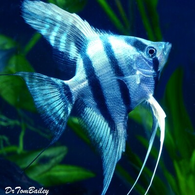 Premium Rare WYSIWYG Blue Cobalt Zebra Angelfish