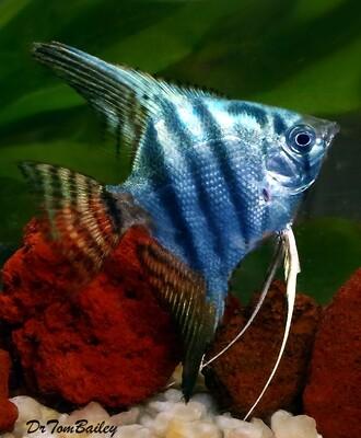 Premium Philippine Blue Angelfish