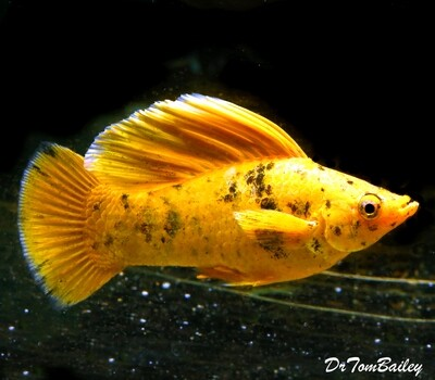 Premium MALE, Rare and New, WYSIWYG Golden Speckled Sailfin Molly, in our Tank G-12