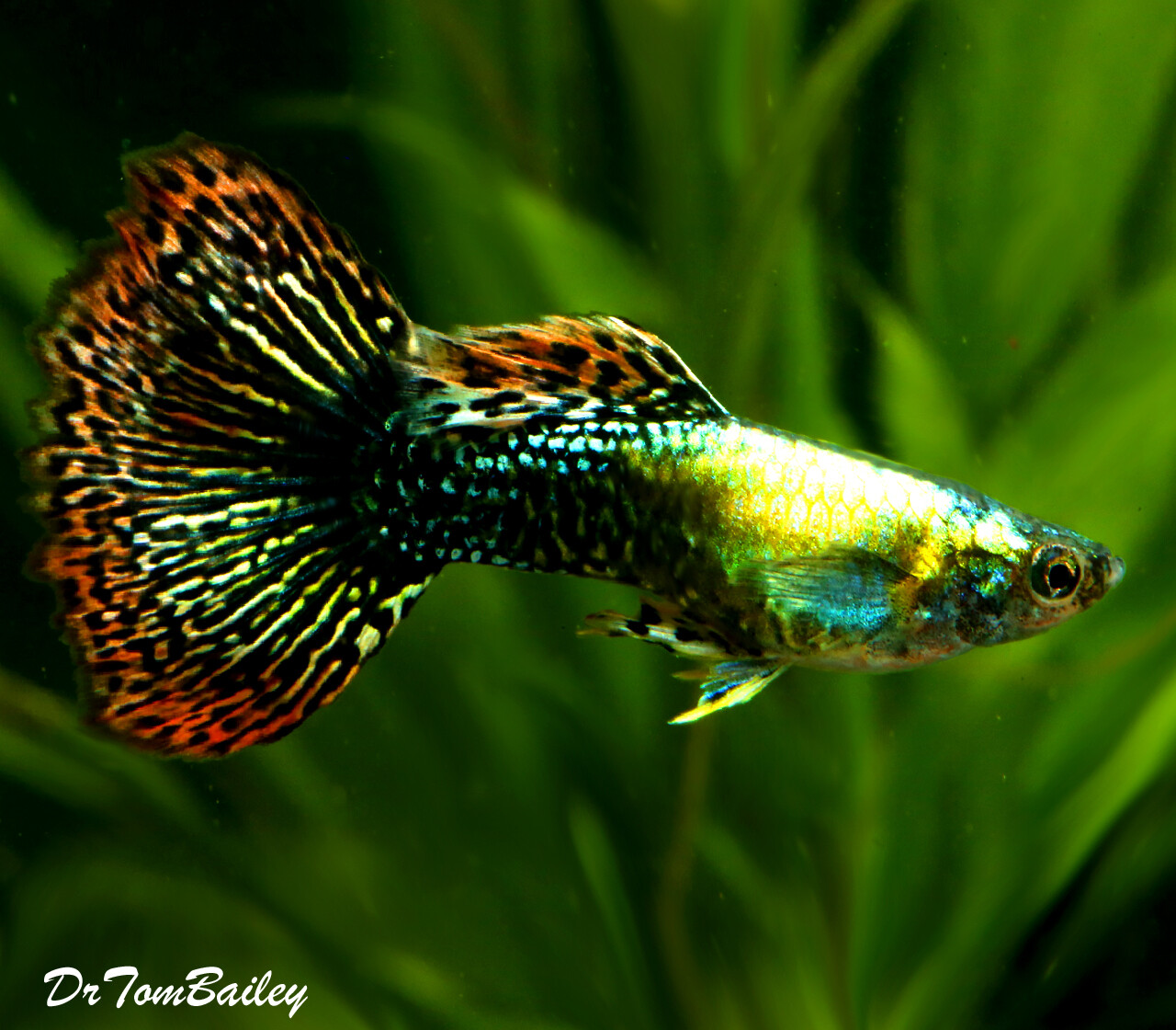Premium MALE Fancy Guppies in Assorted Colors