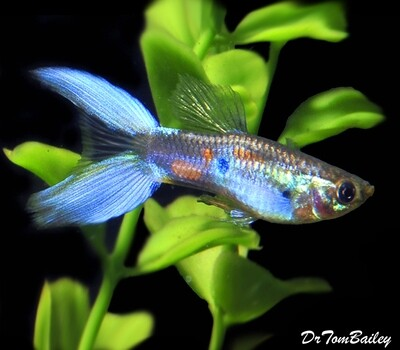 Premium MALE Assorted Lyretail Guppies