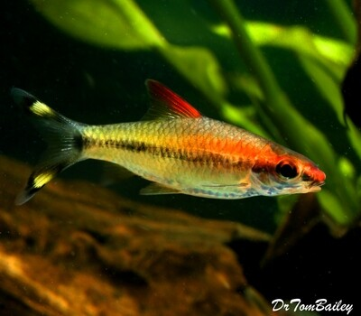 Premium Rare and New, Golden Denison's Red Roseline Torpedo Barb