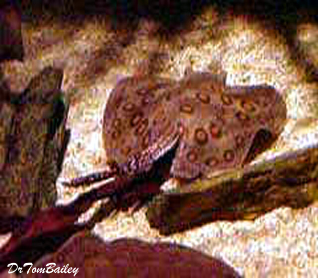 Premium Freshwater Spotted Stingray, Tank Raised!