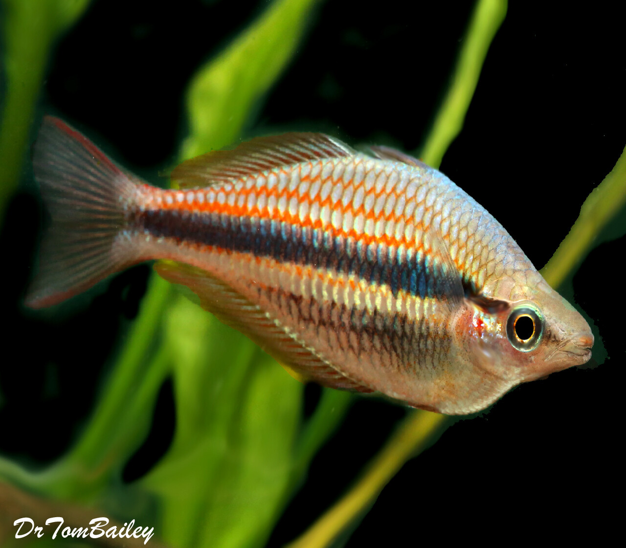 Premium Rare Blyth River Trifasciata Rainbowfish