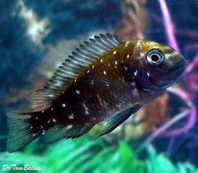 Premium Lake Tanganyika Spotted Tropheus Duboisi Cichlid