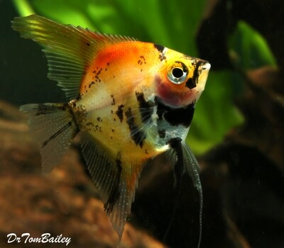 Premium New Rare, WYSIWYG, Red Koi Angelfish