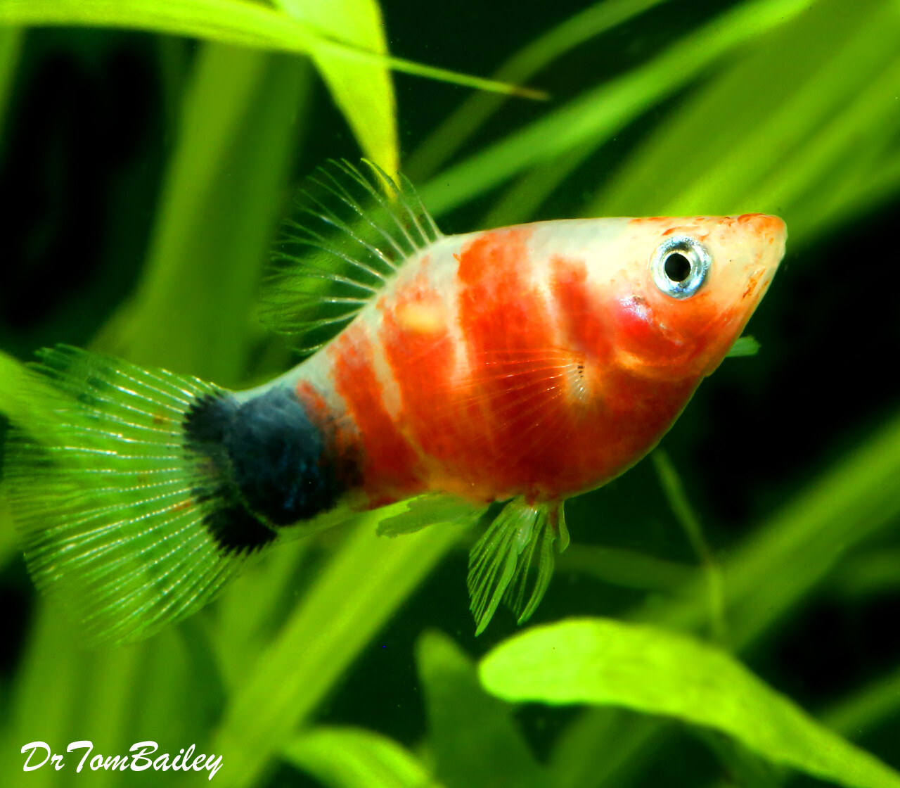 Premium Rare and New, Tiger Ruby Mickey Mouse Platy
