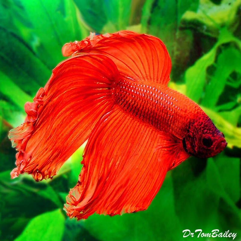 Premium MALE Red Betta Fish