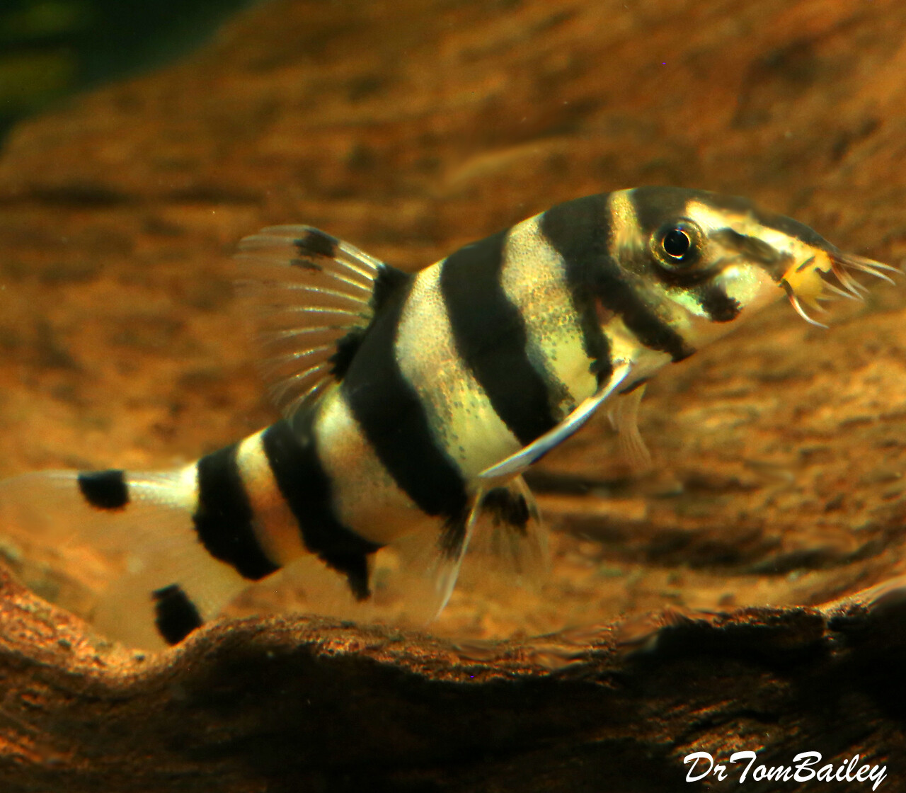 Premium Rare and New, Golden Zebra Loach, Botia histrionica
