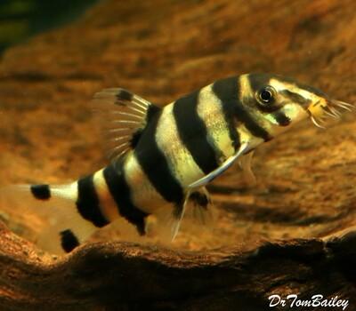 Premium Rare and New, Golden Zebra Loach, Botia histrionica