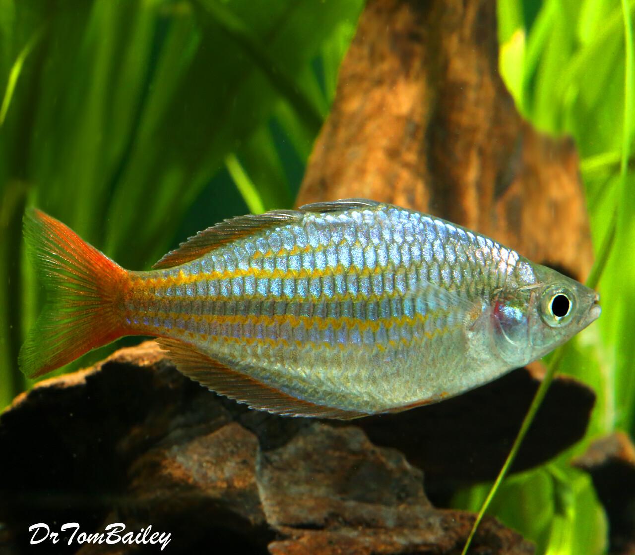 Premium New and Rare, Red Laser Dwarf Rainbowfish