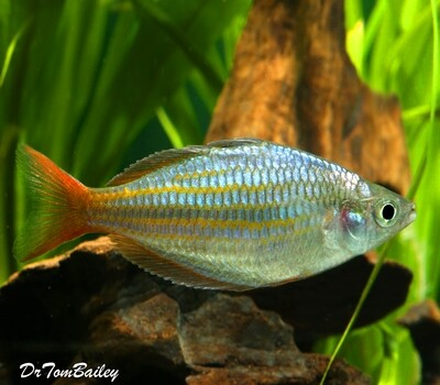 Premium New and Rare, Red Laser Dwarf Rainbowfish