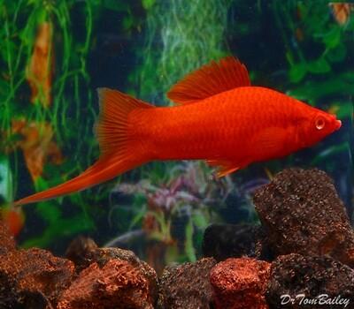 Premium MALE Red Velvet Swordtail, Males Only