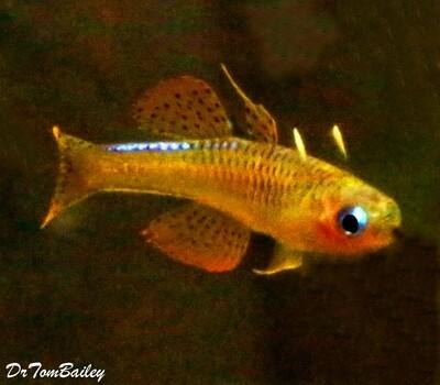 Premium New and Rare, Red Neon Blue Eyes, Pseudomugil Luminatus, Nano Fish