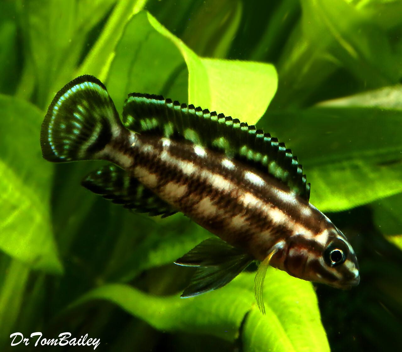 Premium Lake Tanganyika Plaid Juli Cichlid, Julidochromis marlieri