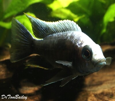 Premium PAIR of Lake Malawi Copadichromis Trewavasae, one male and one female, in our Tank S-56