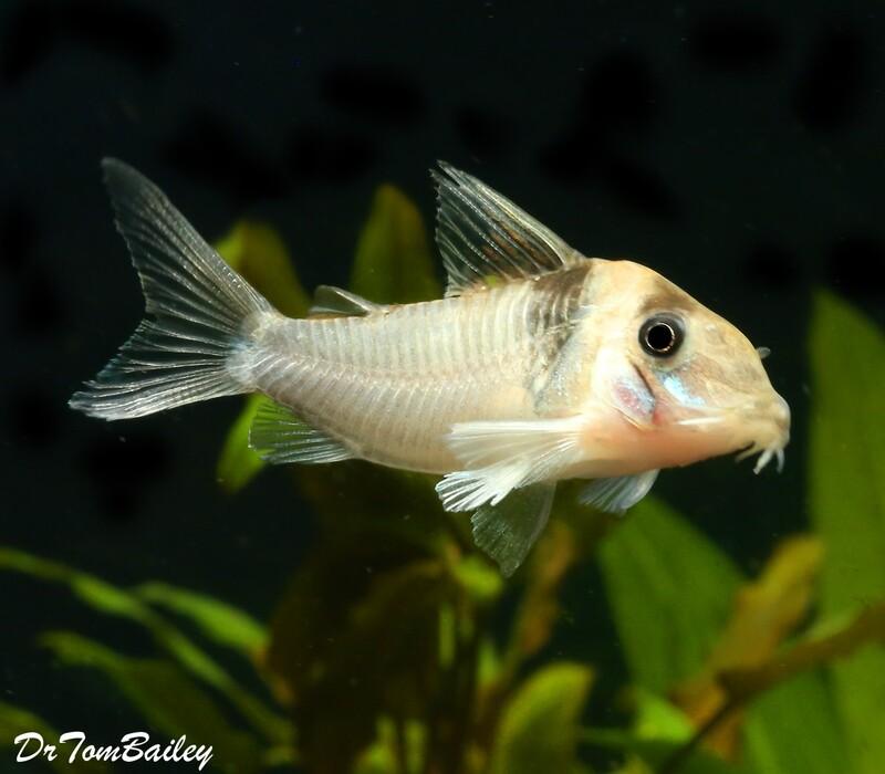 Premium WILD and Rare Virginiae Corydoras Catfish