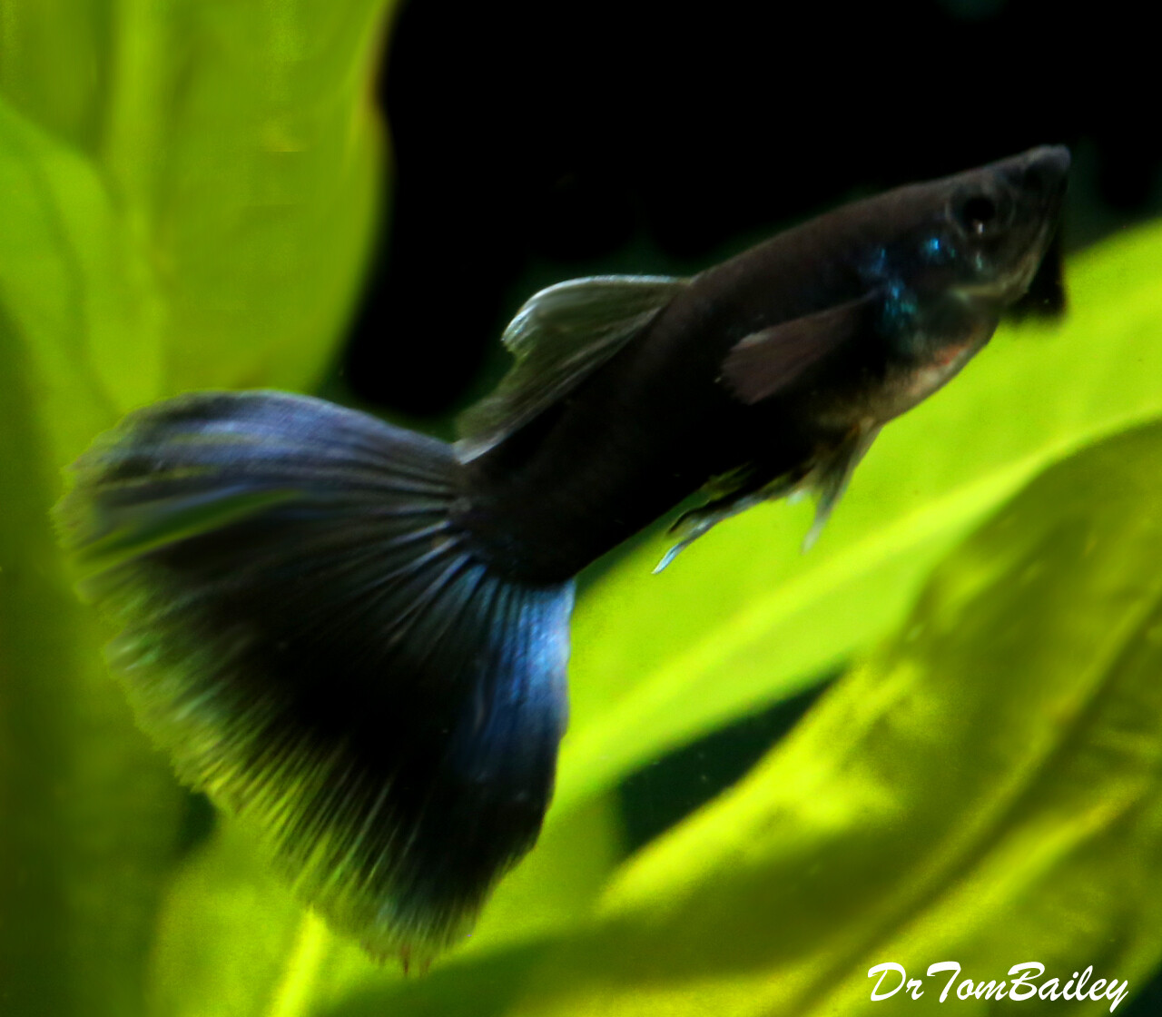 Premium MALE Rare Moscow Black Fancy Guppy