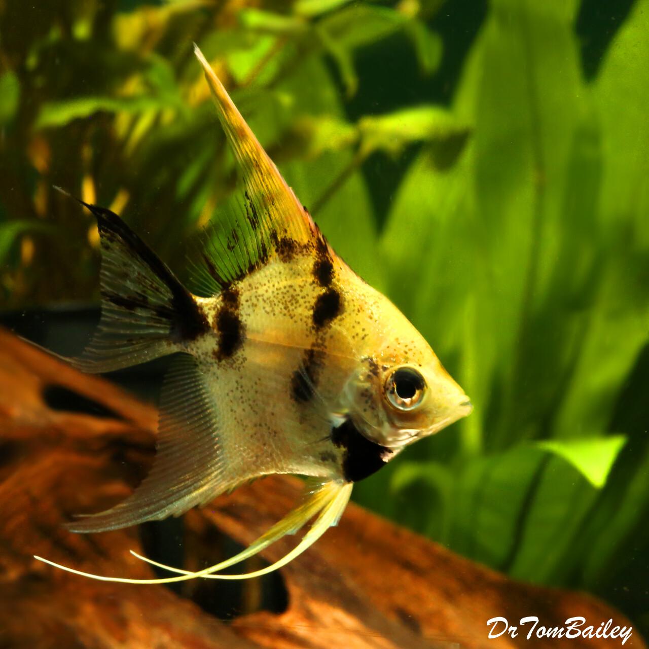 Premium Gold Marbled Angelfish