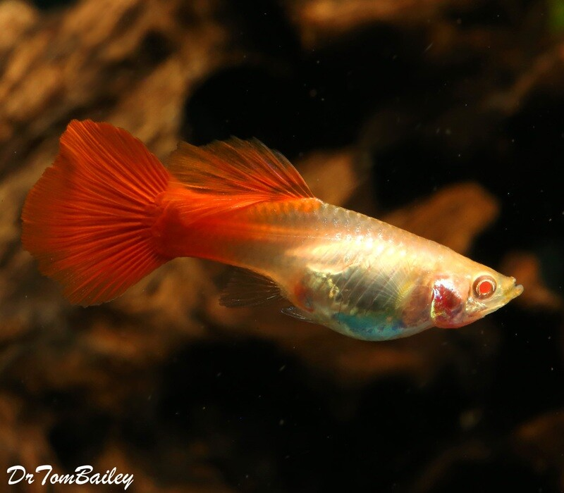 Premium FEMALE, New and Rare, Red-Eye Red Fancy Guppy