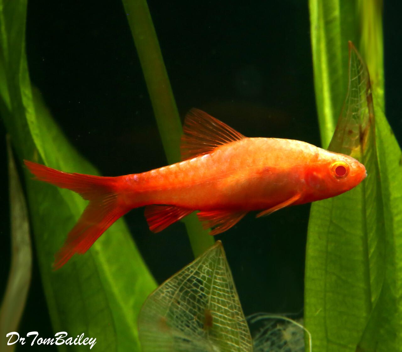 Premium Rare New, Red-Eye Veiltail Cherry Barb, Nano Fish