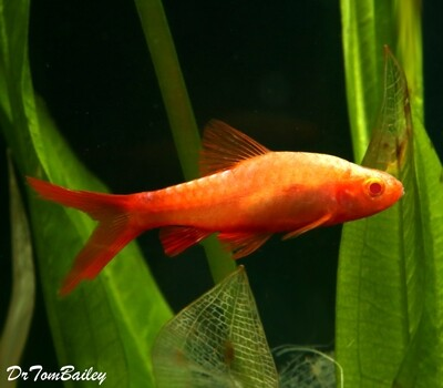 Premium Rare New, Red-Eye Veiltail Cherry Barb, Nano Fish
