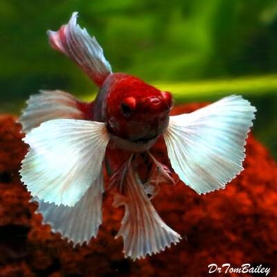 Premium MALE Dumbo Ear Halfmoon Betta Fish