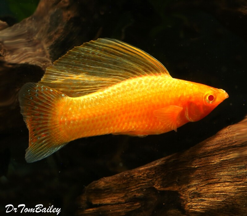 Premium MALE Gold Sailfin Molly