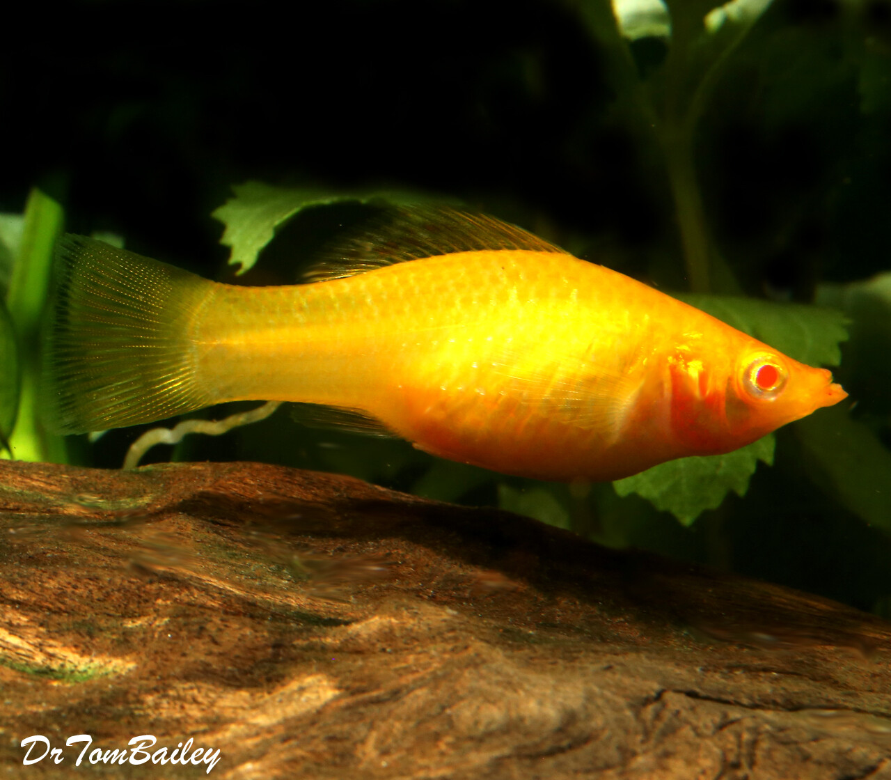 Premium FEMALE Gold Sailfin Molly