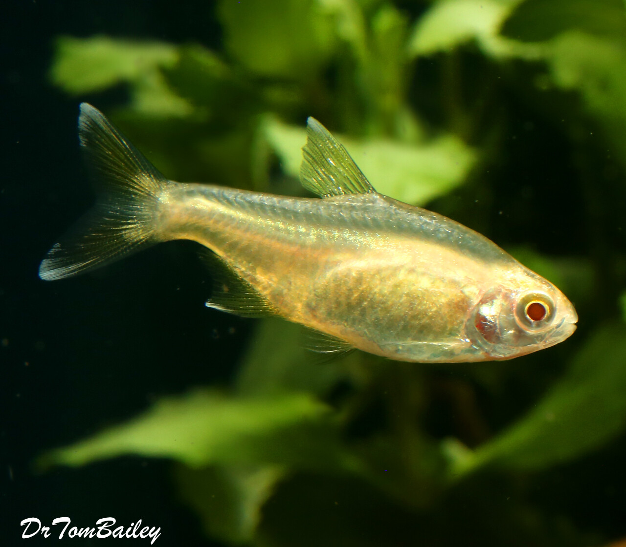 Premium Albino Silver Tip Tetra with Red Eyes and Shiny Golden Body