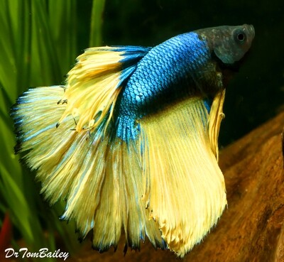 Premium MALE Blue-Green Mustard Betta Fish
