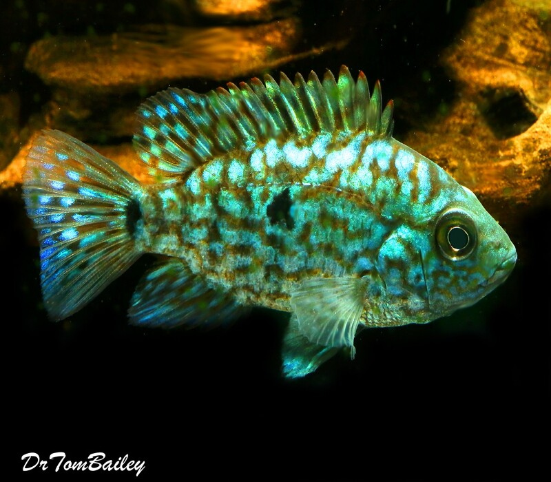 Premium New & Rare, Electric Blue Texas Cichlid