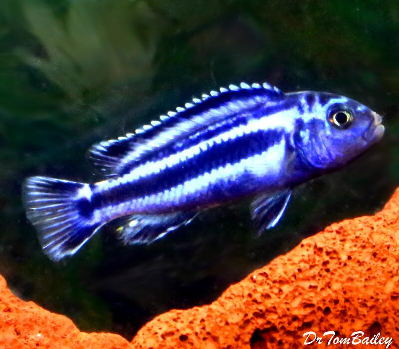 Premium New Maingano Malawi Mbuna Cichlid,  Melanochromis cyaneohabdos