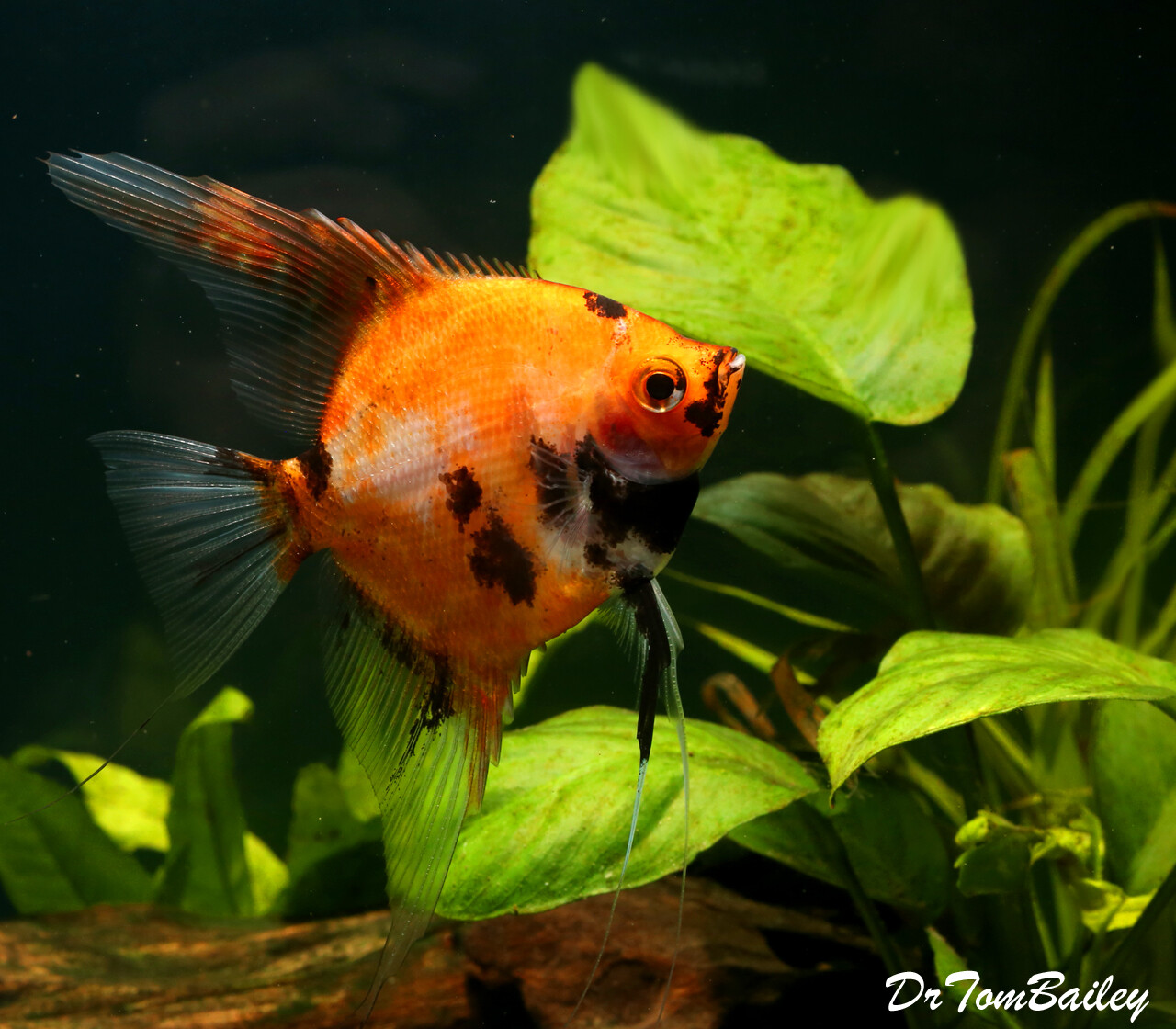 Premium New Rare, Red Koi Angelfish