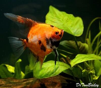 Premium New Rare, Red Koi Angelfish