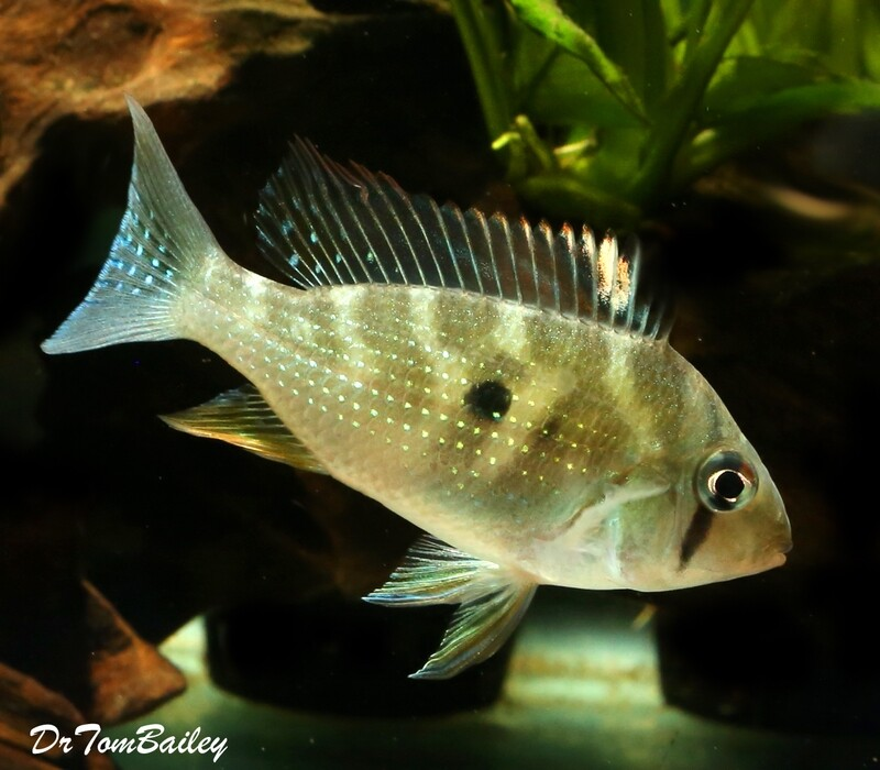 Premium Rare and New, Threadfin Heckelii Cichlid, Acarichthys heckelii