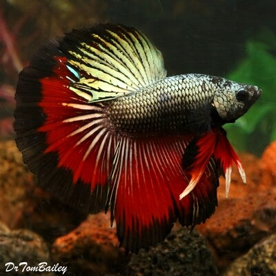 Premium MALE Assorted Dragonscale Halfmoon Betta Fish