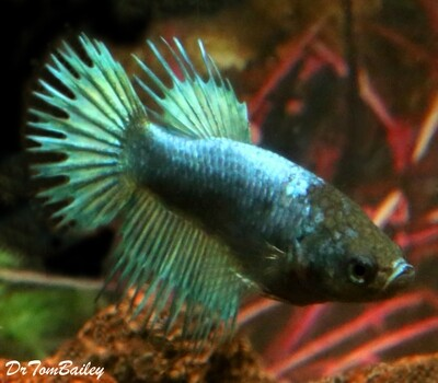 Premium FEMALE Green Crowntail Betta Fish