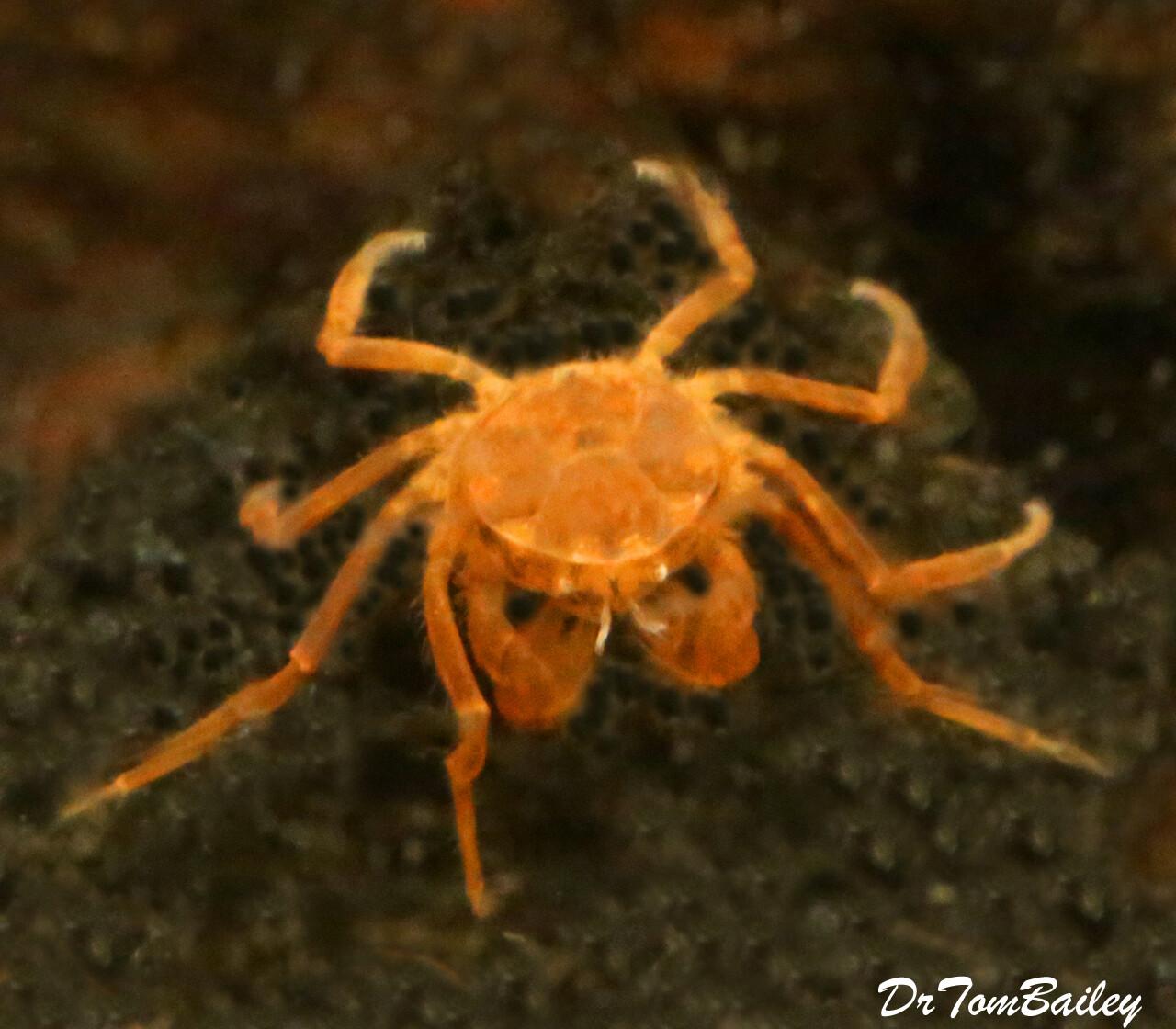 Premium WILD New, Freshwater Thai Micro Crab, Limnopilos naiyanetri, Nano Crab