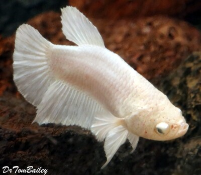 Premium FEMALE Rare Pearl White Halfmoon Betta Fish