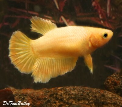 Premium FEMALE Rare Golden Halfmoon Betta Fish