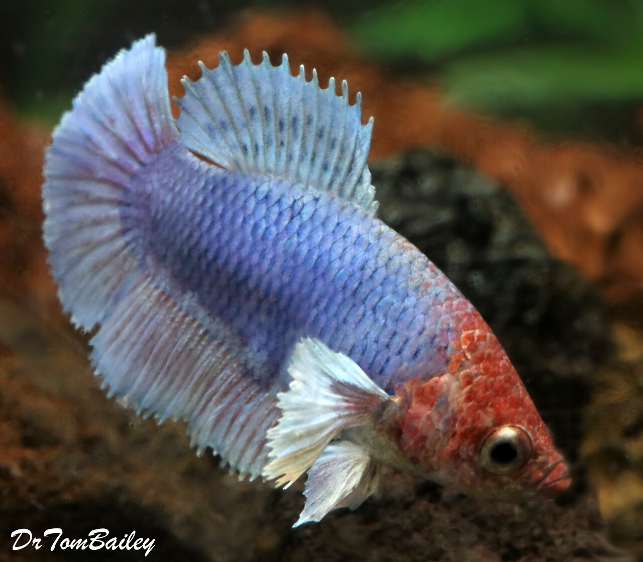 Premium FEMALE Rare Blue Dumbo Ear Halfmoon Betta Fish