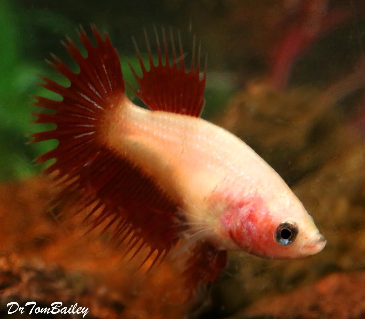 Premium FEMALE Rare Pink Cambodian Crowntail Betta Fish