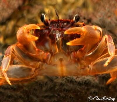 Premium Freshwater Aquatic Matano Crab